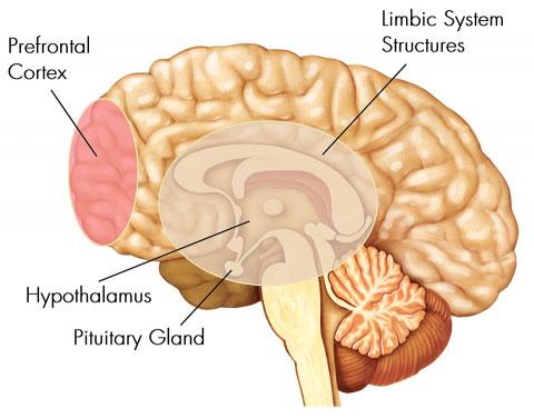 بخش های اصلی مغز انسان