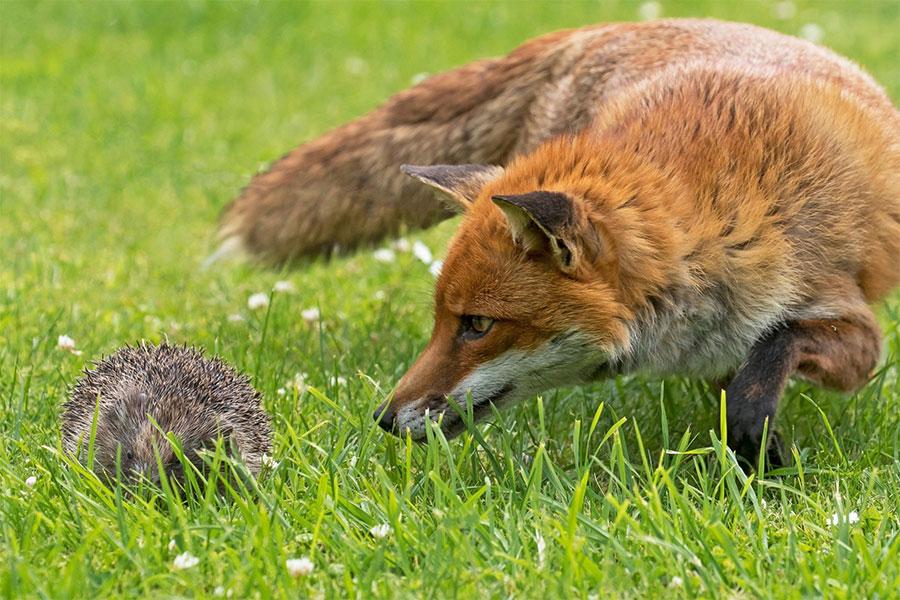 کتاب خوب به عالی، خارپشت و روباه